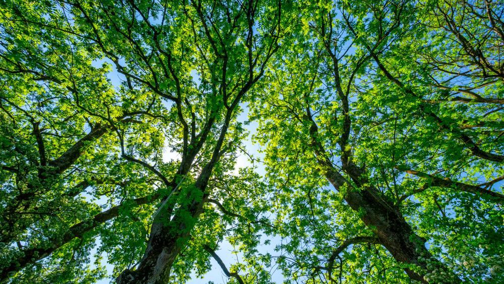 Erdők tűnhetnek el: egy teljes fafaj pusztulhat ki Magyarországon