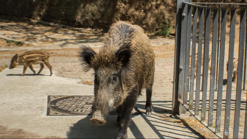 Vaddisznó invázió a Balatonnál: már kutyára is támadtak a vadállatok