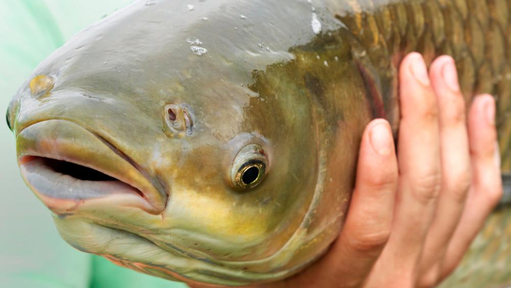 Hiába kínálják, nem veszi meg senki: nincs igény a balatoni halra
