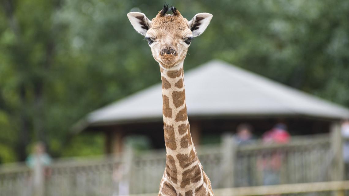Ennél cukibb ma már nem lesz: zsiráf született Nyíregyházán + képek