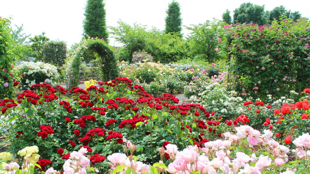Ezt érdemes megnézni: elkészült a csodaszép rózsakert!