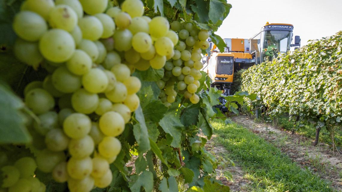 Bajban vannak a magyar gazdák: fillérekért vásárolják fel a szőlőt