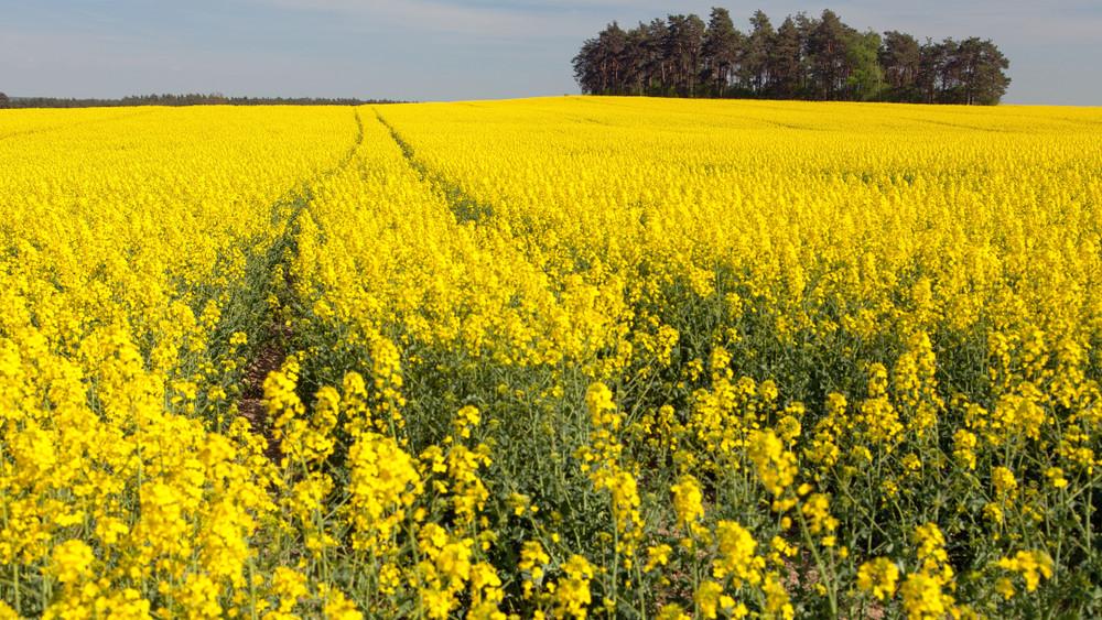 Jó évet zárhatnak a Zala megyei gazdák: több búza és repce termett