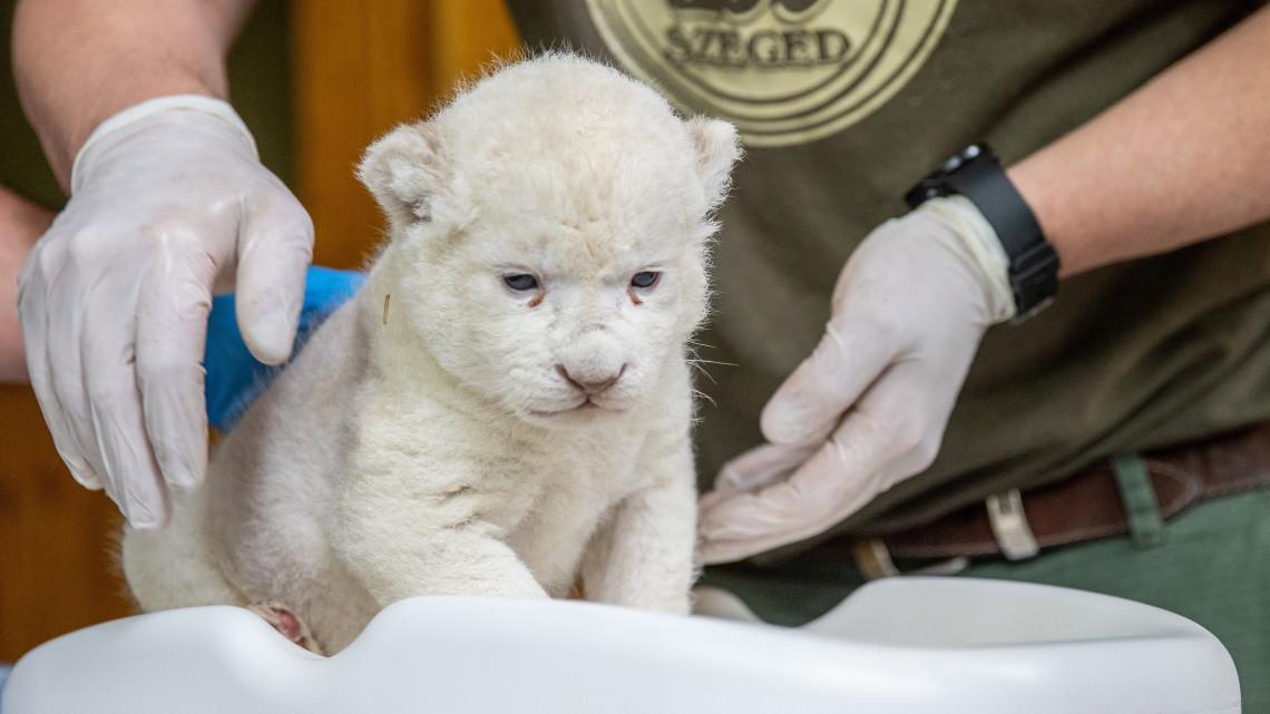 Igazi ritkaság: már látható Szegeden az újszülött kicsi fehér oroszlán
