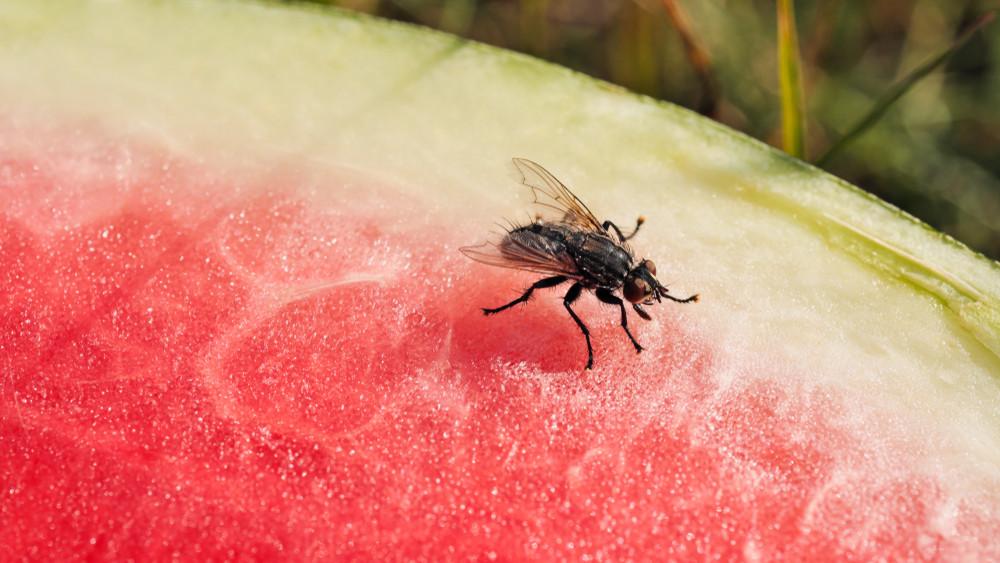 Érik a légyinvázió: így védd meg otthonodat a fertőző rovaroktól!