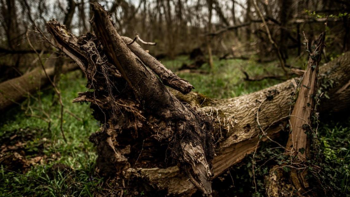 Itt az erdészek rémálma: kipusztulhatnak a magyar kőrisek