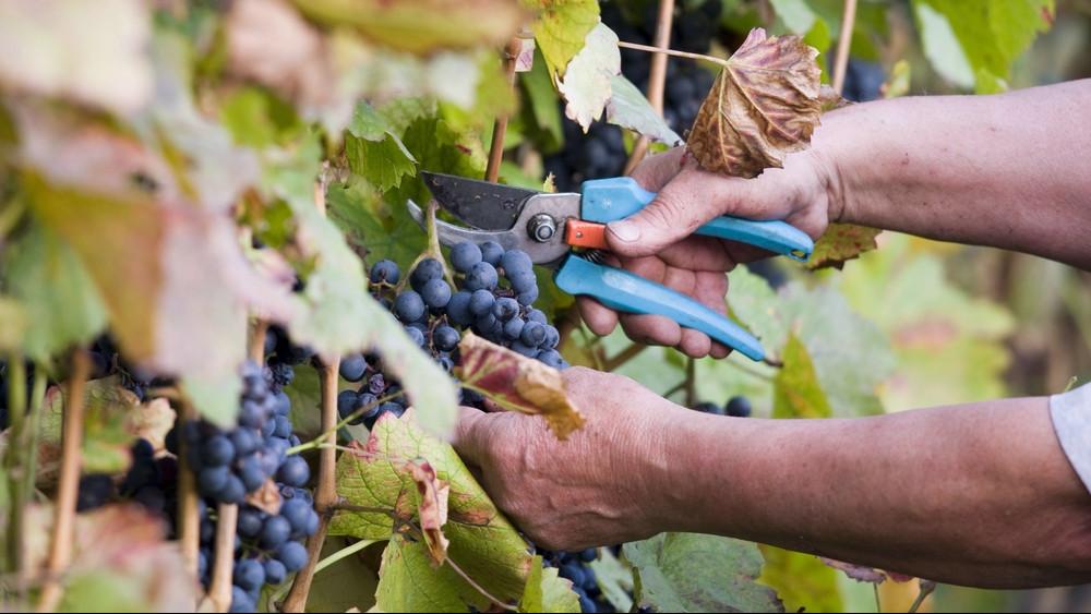 Elárulták a borászok: csúcsminőségű évjárat lesz az idei