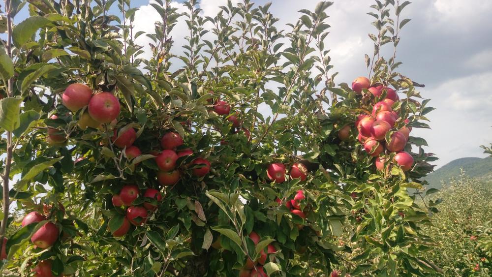 Erős a kereslet a magyar almára: erre számítanak a termelők idén