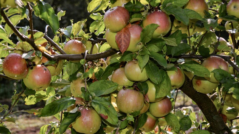 Nagy a kereslet de kevés az alma: erre számítanak Borsodban