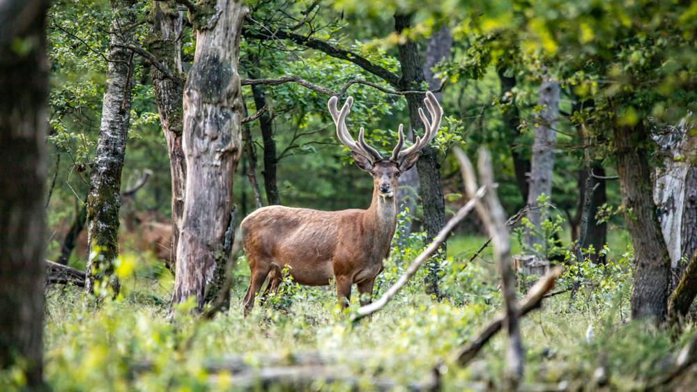 Szarvasbőgéstúra: extrém sétát a gemenci erdőben