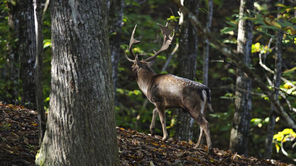Szarvasoktól zeng az erdő: vigyázzon, aki Somogyban jár
