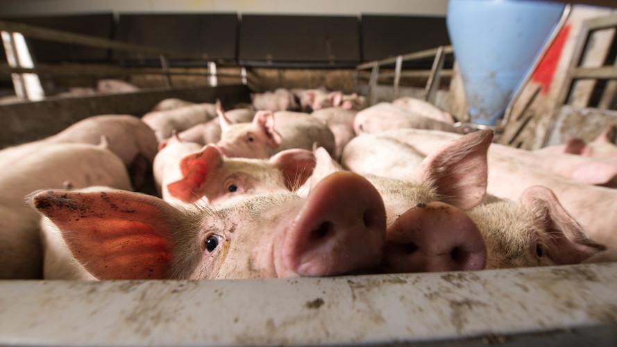 Brutális áremelkedés várható: ennyivel kerülhet többe a sertéshús