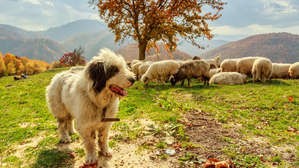 Nagyot mentek a pásztorkutyák: díjnyertes film készült munkájukról