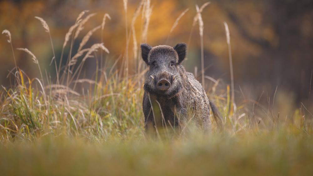 Ezek az új fertőzött területek: a Tisza hordja az sertéspestises vaddisznókat