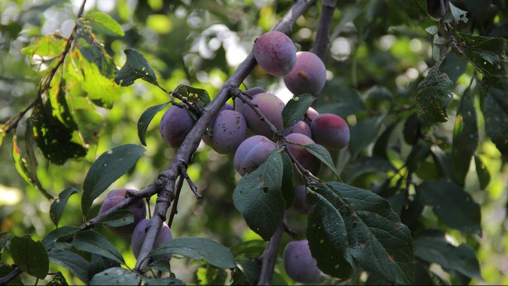 Bőséges a szilvatermés, mégsem kell a magyaroknak: itt végzi a legtöbb gyümölcs