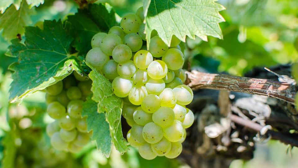 Drukkoljunk együtt a magyar borászoknak: elkezdődött a szüret!