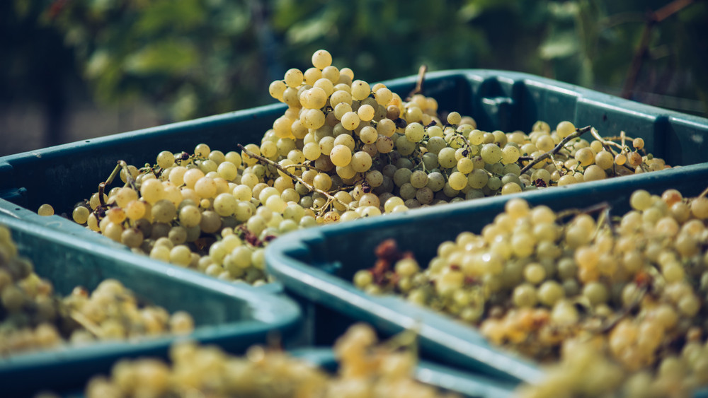 Ezt okozta a cserebogár-invázió: kevesebb, de jobb minőségű szőlő terem idén