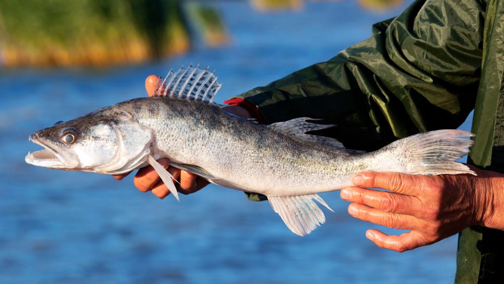 Dübörög a balatoni gazdálkodás: további 1300 hektárra telepíthetnek halakat