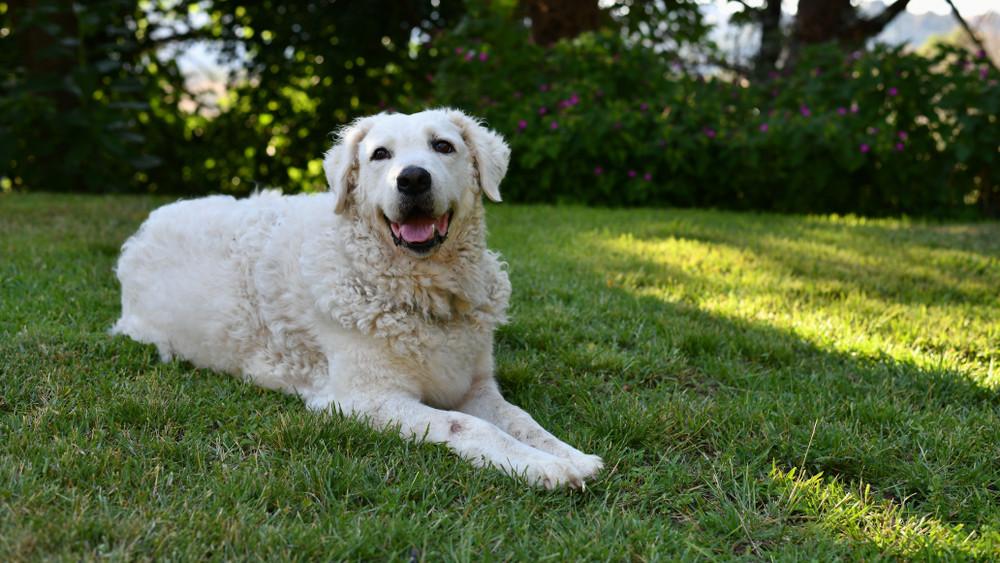 Kihalás szélén az ősi magyar kutyafajta: így védenék meg a kuvaszt