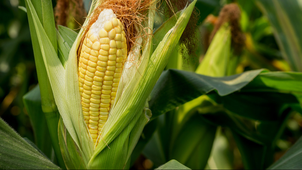 Brutális áremelkedés várható: durván megszedhetik magukat a kukoricatermelők