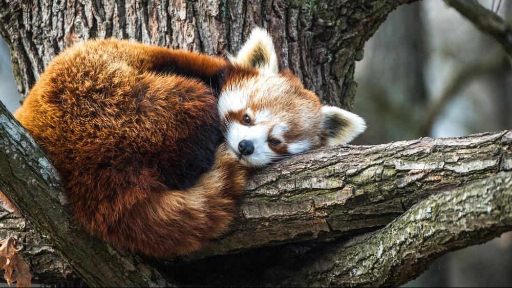 Irány az állatkert: szombaton lesz a Nemzetközi Vörös Panda Nap!