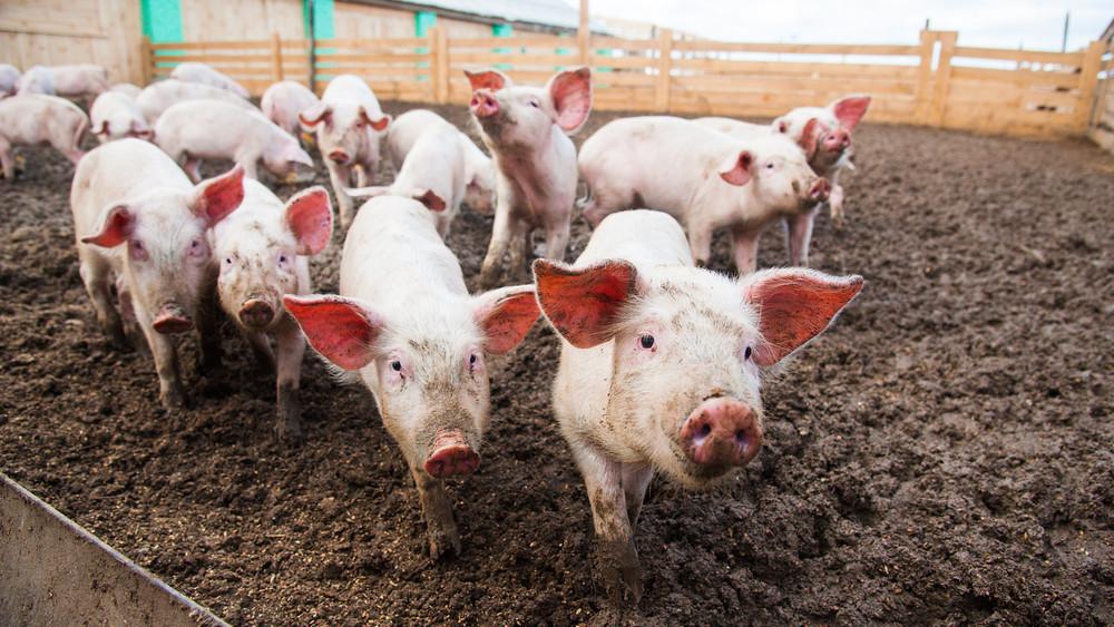 Komoly a helyzet: leölhetik a magyar sertéstartók állatait a járvány miatt