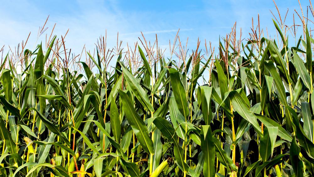 Hatalmas drogfogás: 1100 tő vadkendert nevelt a kukoricásban egy orosházi férfi