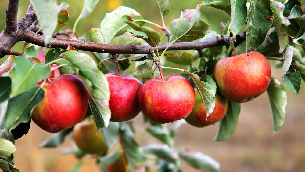 Bajban van az almaexport: minden becslést alulmúlt az idei termés