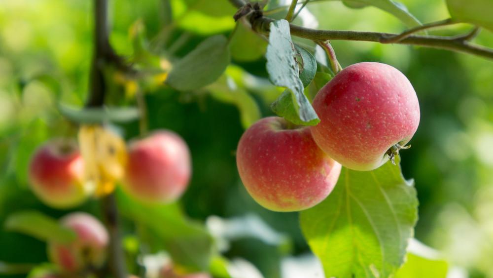 Méregdrága lesz az alma: botrányosan kevés az idei termés