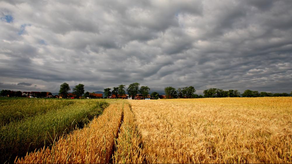 Brutális év van a gabonatermesztők mögött: egyre nehezebb megbirkózni az időjárással