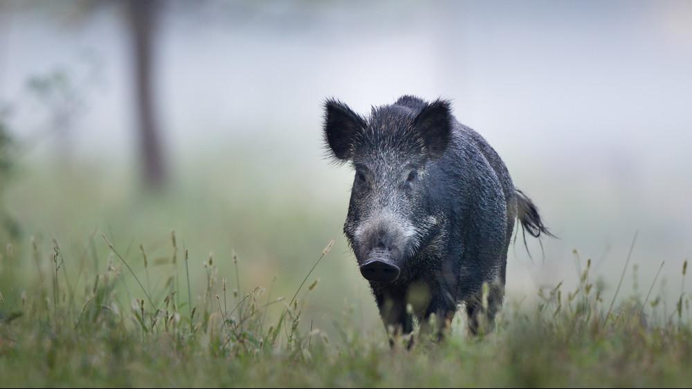 Hivatalos: elérte a pestis Pest megyét, le kell ölni az állatokat