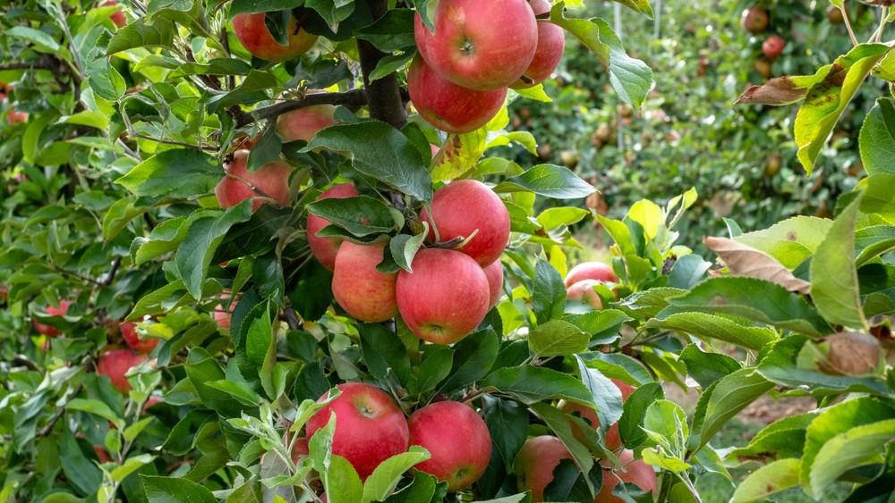Idén ősszel érkezik az új szuperalma: teljesen bezsongott a gyümölcsipar!