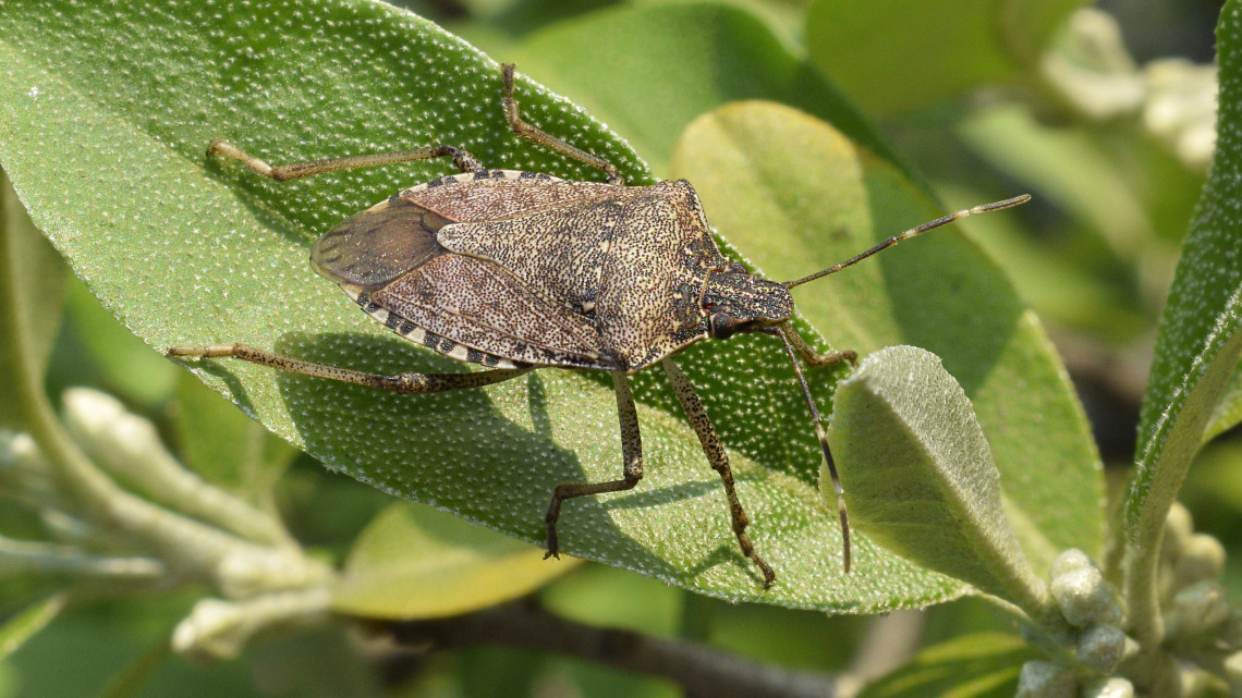 Koránt sincs vége a poloskainváziónak: a szapora rovarok a városokat támadják!