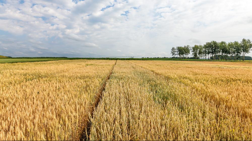 Lassan halad a betakarítás: erre panaszkodnak a gazdák