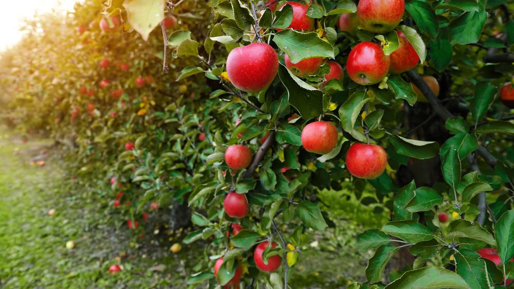 Egekbe szállhat a magyar alma ára: erre számítanak a gazdák