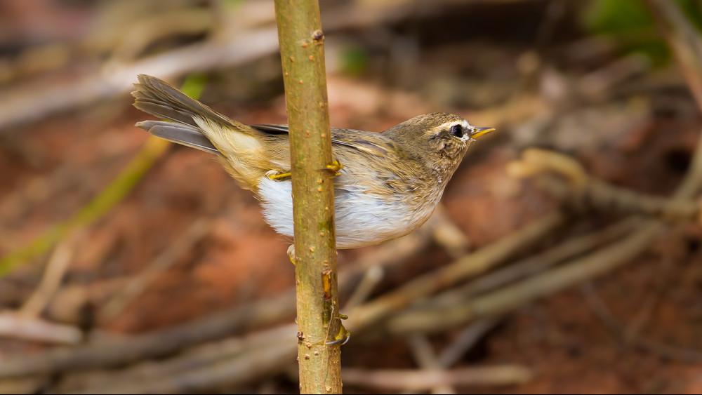 Hazánkat választotta a kalandor: Szibériából érkezett madarat fogtak Nógrádban
