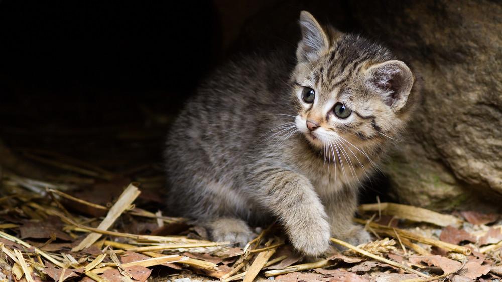 Először kóbornak macskának nézték: elindult a genetikai vizsgálat