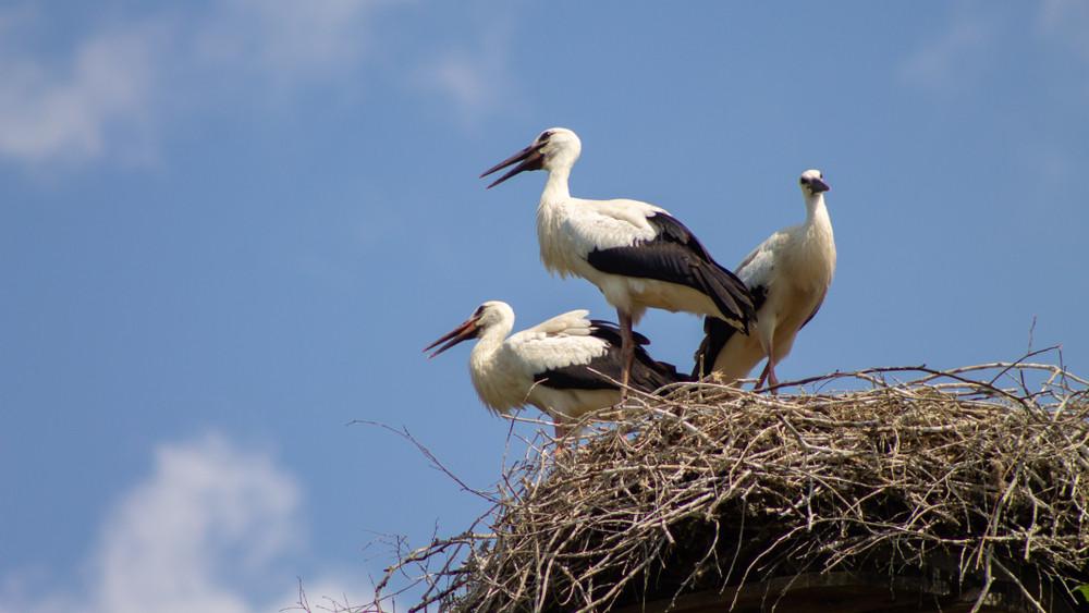 Elkeserítő eredmény: tovább csökkent a vasi gólyaállomány