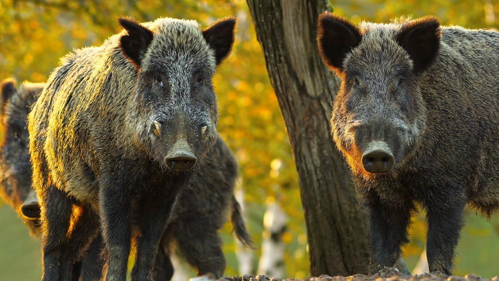 Aggódnak a magyar gazdák: Békés megyében így védekeznek a sertéspestis ellen