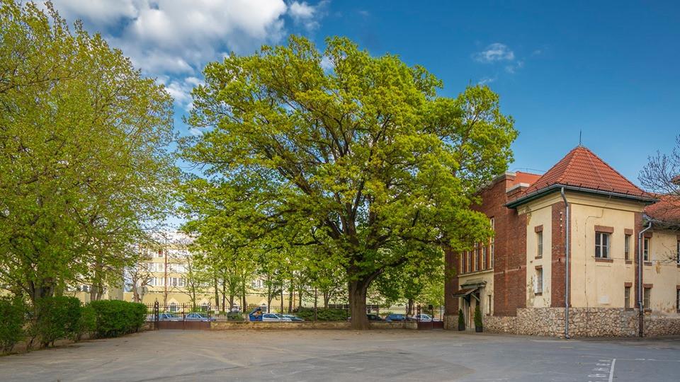 Megvan a győztes: a kaposvári Szabadságfa lett az Év Fája