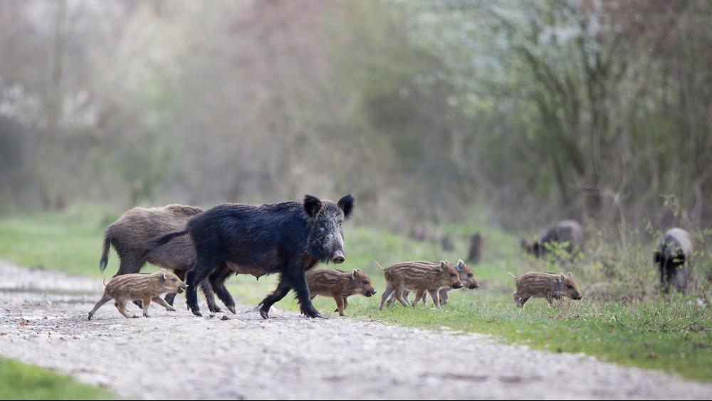 Terjed az afrikai sertéspestis a Dunántúlon: ezek az új fertőzött területek