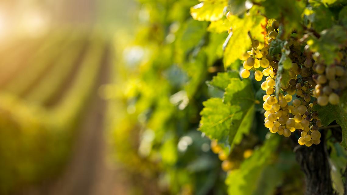 Bajban vannak a szőlőtermelők: kevesebb szőlő termett idén