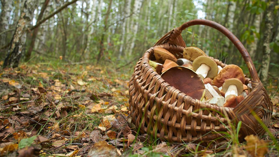 Elkezdődött a szezon: kedvez az ősz a gombászás szerelmeseinek