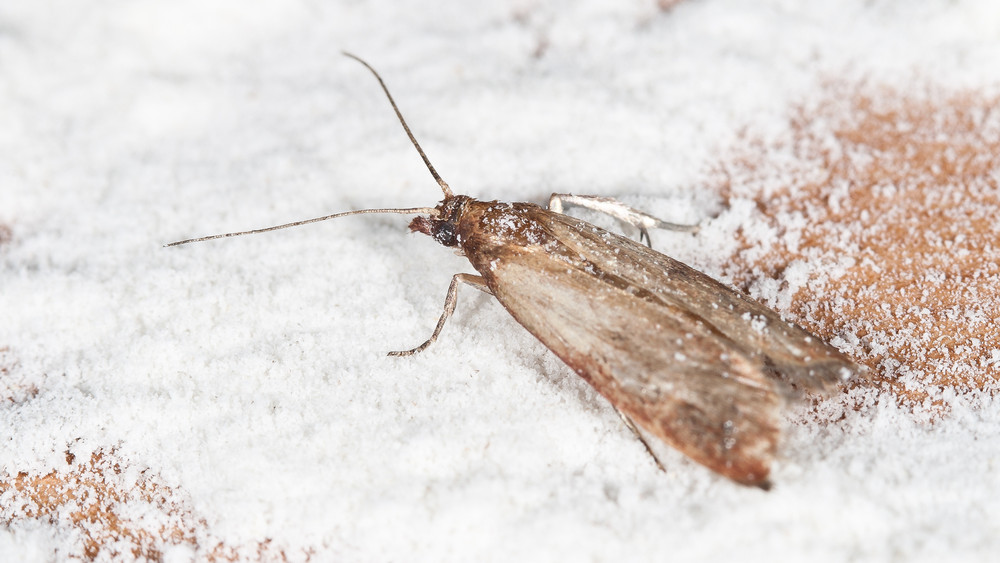Új rovar vette ostrom alá a magyar konyhákat: így űzheted el az aszalványmolyokat