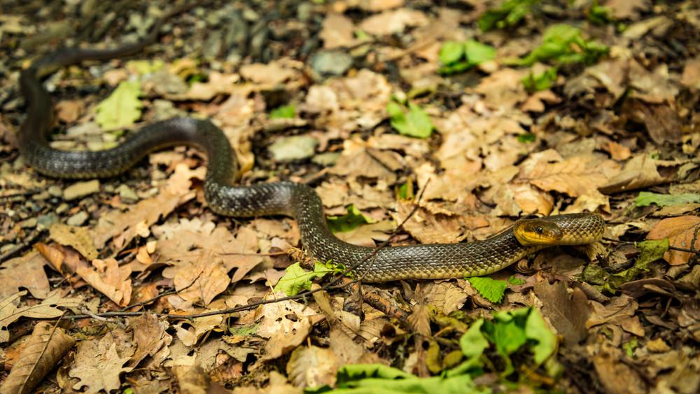 Kígyók lepték el a vidéki házat: így gyűjtötte össze őket a szakember