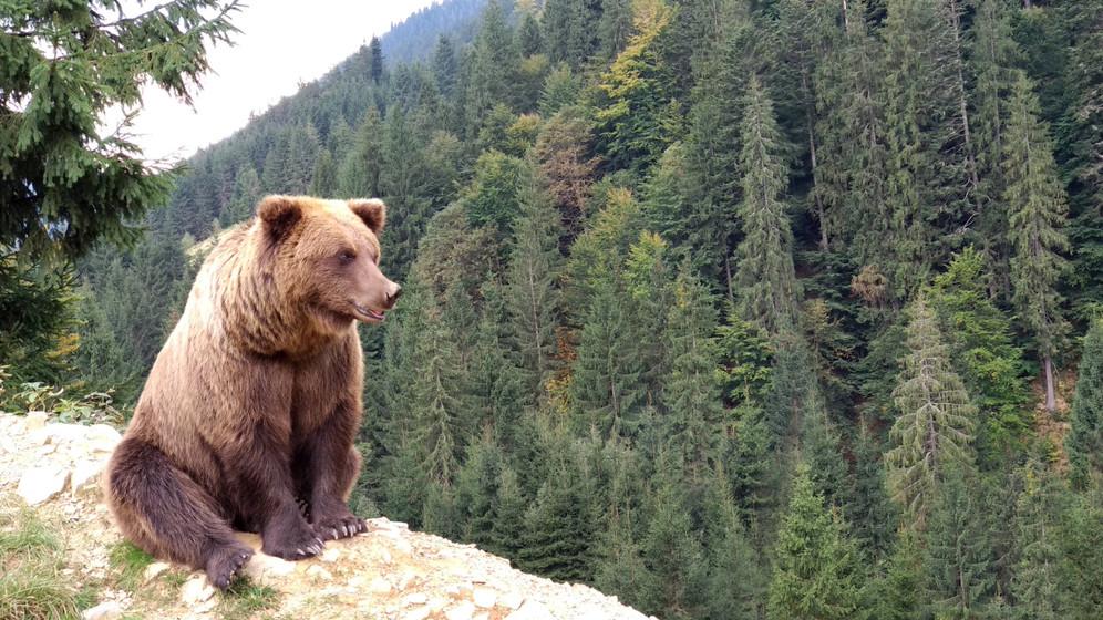 Gombászó férfira támadt a medve: belehalt sérüléseibe