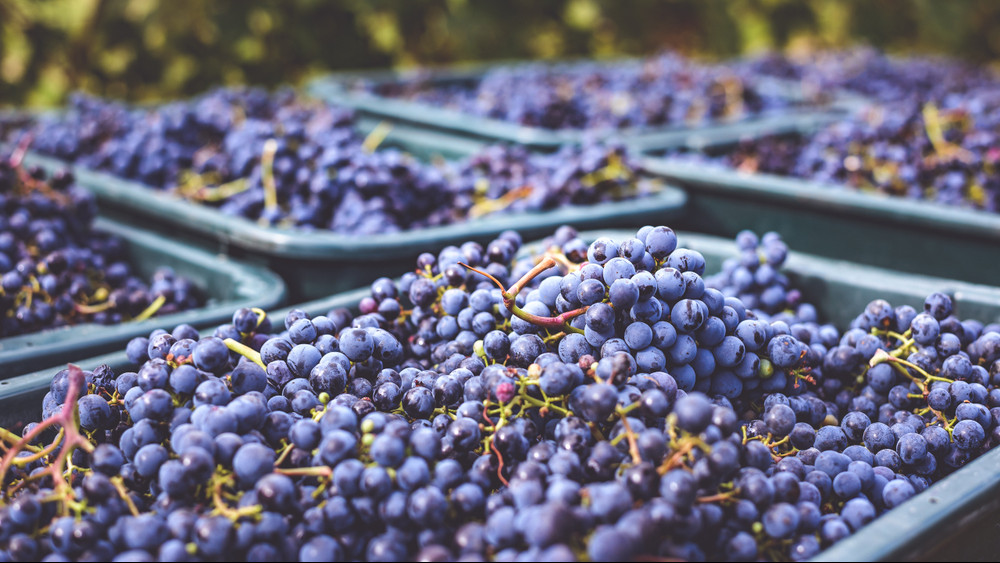 Jó évjáratban bíznak a borászok: ezeken a borvidékeken lett kiváló termés