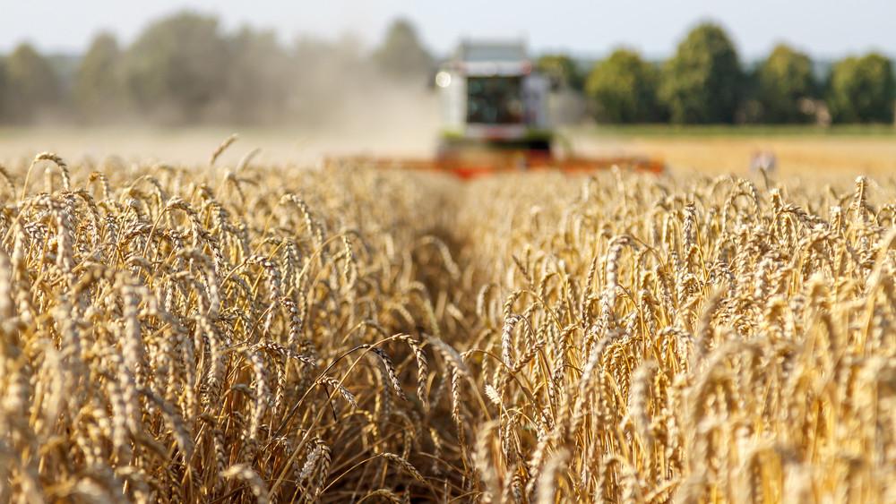 Hamarosan vége az aratásnak: csapnivaló lesz az idei búza minősége