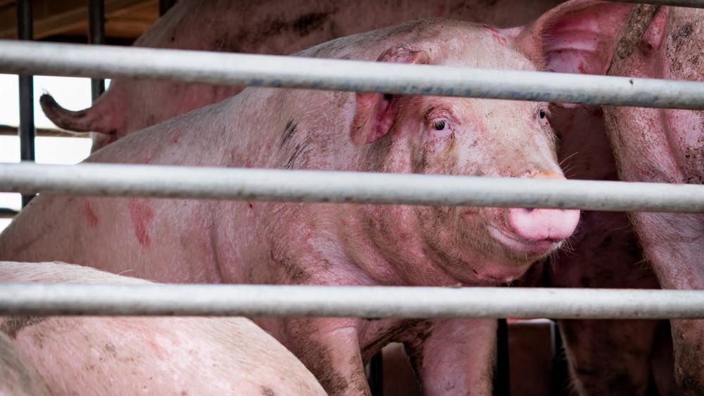 Brutálisan terjed a sertéstartók rémálma: újabb 13 ezer állatot ölnek le a szomszédban