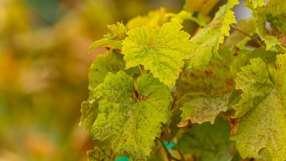 Veszélyben a magyar borvidékek: új területeken ütötte fel a fejét a súlyos szőlőbetegség